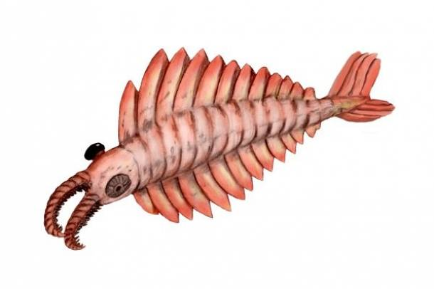 Anomalocaris Forrás: commons.wikimedia.org