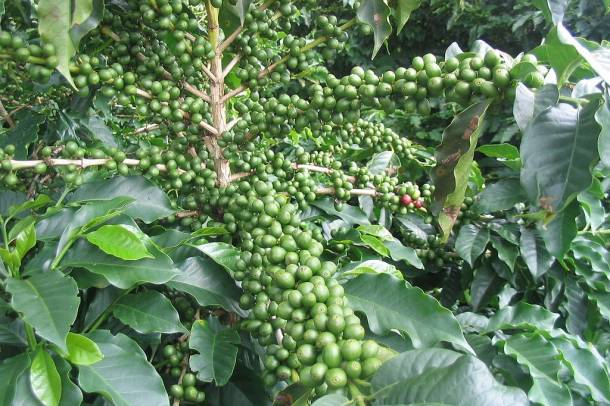Kávécserje Forrás: hu.wikipedia.org