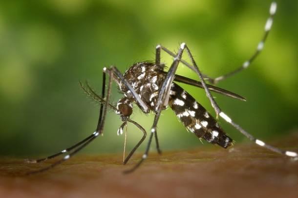 Tigris szúnyogForrás: pixabay.com