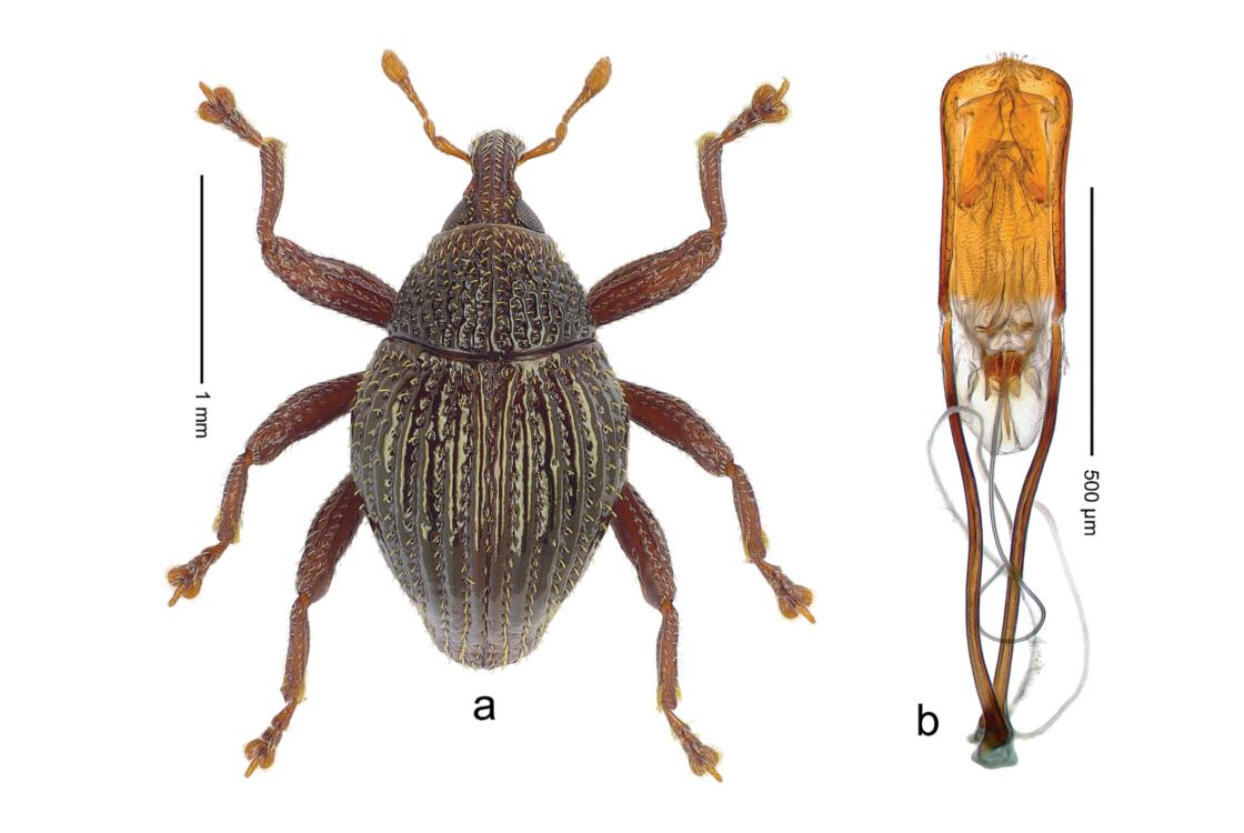 gömbölyű bogarak)