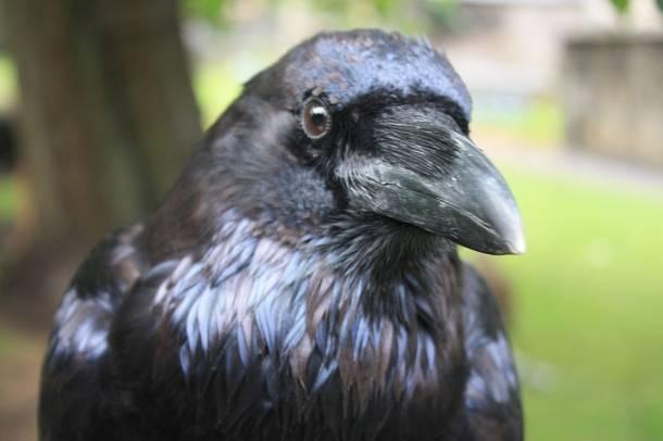 http://ecolounge.hu/upload/gallery/5842/thumb_610x406/1280px-Head-of-Raven.jpg